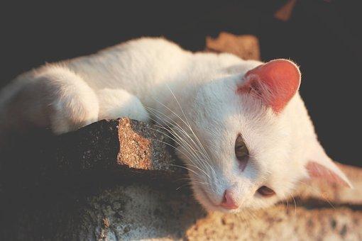 Animal, Cat, Ears, Feline, Pet, Whiskers, White Cat