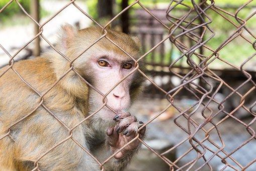 Confined, Monkey, Cage, Animal, Prison, Captivity