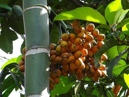Areca Catechu, Areca Palm, Areca Nut Palm, Betel Palm