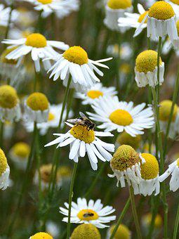 Marguerite, Bee, Close, Nature, Flowers, Plant, Animal