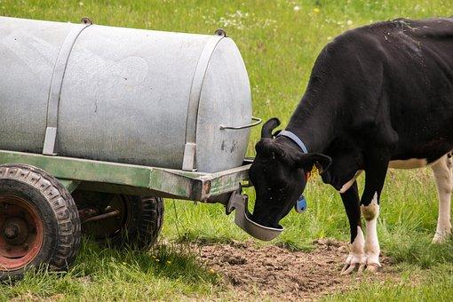 Cow, Drink, Water Truck, Drinking Agency, Beef