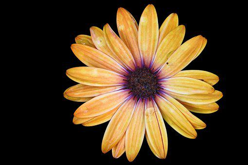 Magerite, Bornholm, Yellow Orange, Blossom, Bloom