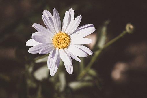 Marguerite, Composites, Flower, Blossom, Bloom, White