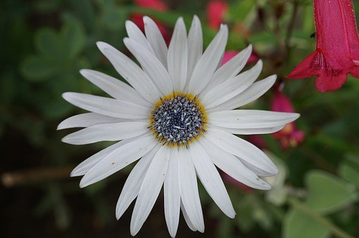 Cape Margerite, White, Blossom, Bloom, Marguerite