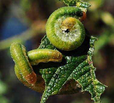 Caterpillar, Macro, Insects, Green, Leaf, Eat, Nature
