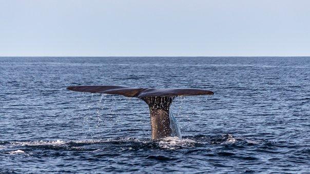 Wal, Sperm Whale, Caudal Fin, Fin, Sea, Marine Mammals
