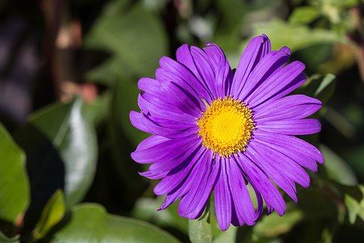 Marguerite, Purple, Violet, Flower, Flower Garden