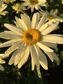 Flower, Marguerite, Nature
