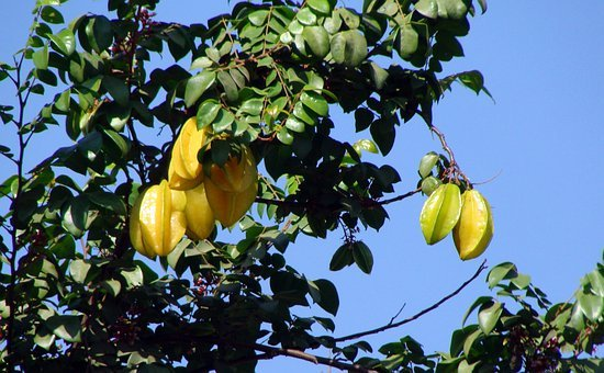 Carambola, Starfruits, Trees, Fruiting, Plants