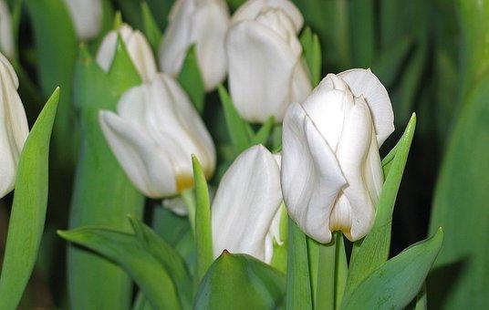 Tulips, White, Spring, Blossom, Bloom, Flower, Garden