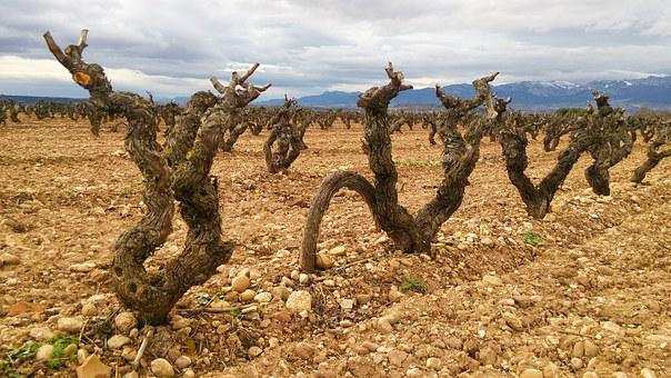 Fuenmayor, La Rioja, Spain, Rioja, Grape, Black, Red