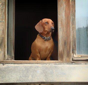 Dachshund, Pet, Dog, Canine, Window Sill, House, Home