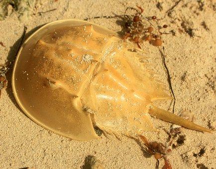 Horseshoe Crab, Crab, Shell, Usa, Florida