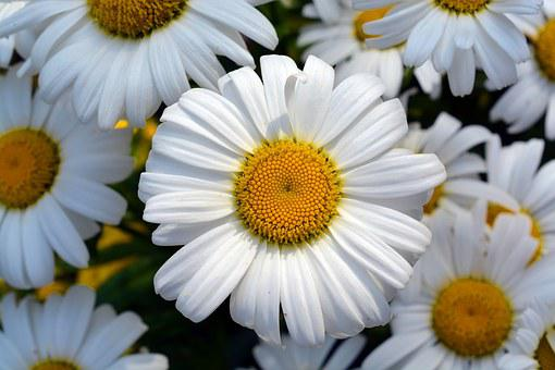 Marguerite, Gartenmagerite, Blossom, Bloom, Flower