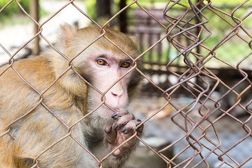 Confined, Monkey, Cage, Animal, Prison, Captivity