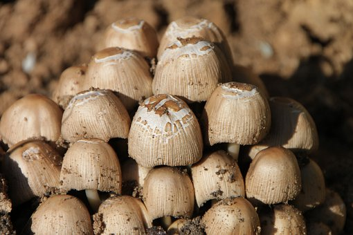 Clusters, Coprinus, Fungus, Micaceus, Mushrooms