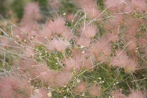 Hairy Flower, Windy, Pink, Float, Plant, Meadow, Nature