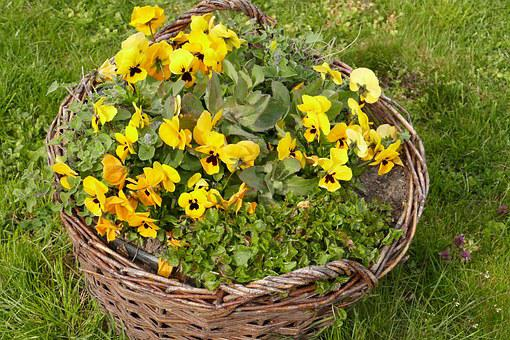 Pansy, Early Bloomer, Bauer Basket, Spring Flower