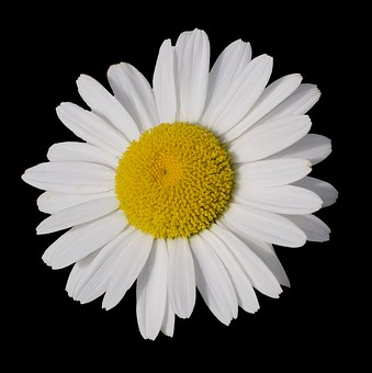 Marguerite, Leucanthemum, Blossom, Bloom, Flower, Plant