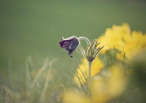 Pulsatilla Pratensis, Vernal, Spring, Protected, Nature
