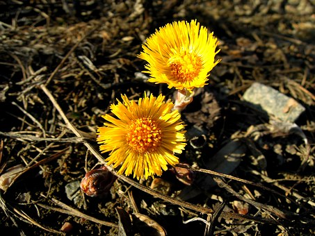 Coltsfoot, Spring, Spring Plant, Yellow, Sign Of Spring