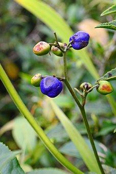 Wild Fruits, Colorful, Eatable, Vegetation, Tea Estate