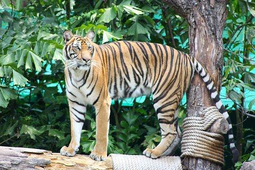 Tiger, The Prisoner, Nature, Zoo, Stripe, Yellow, Black