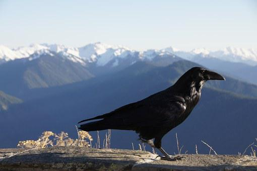 Blackbird, Mountains, Hurricane Ridge, Washington
