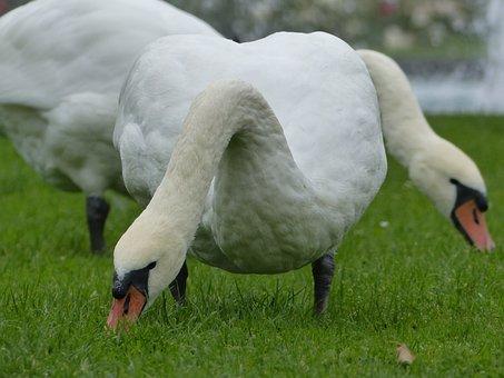Swan, Weis, Water Bird, Animal World, Spring, Bird