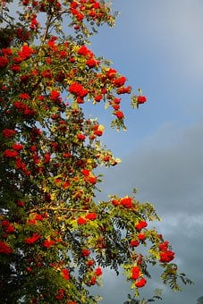 Mountain Ash, Ash, Berries, Red, Rowan
