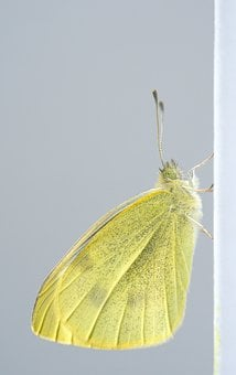 Pieres Rapae, Butterfly, Small Cabbage White Ling