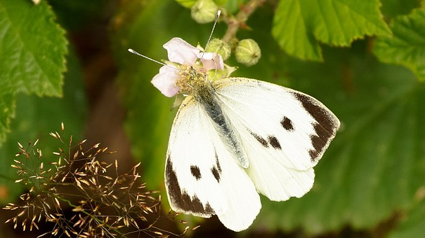 Butterfly, White, Cabbage Butterfly, Blossom