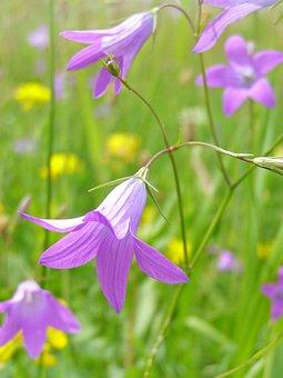 Flower, Campanula Patula, Spring, Meadow, Grasshopper