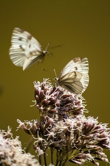 Small Cabbage White Ling, Butterflies, Close, Insect