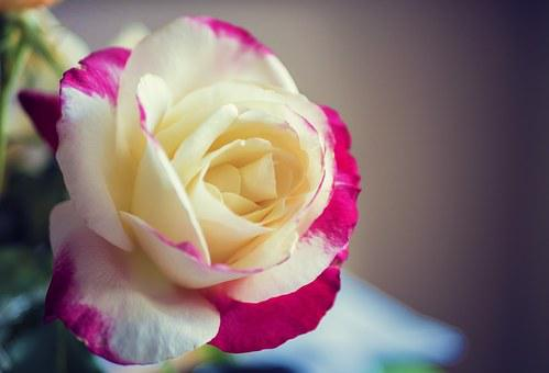 Rose, Macro, Red, Yellow, Nature, Flower, Floral, Petal