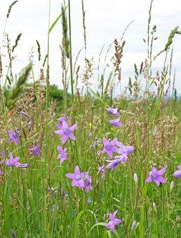 Flowers, Campanula Patula, Grass, Spring, Meadow