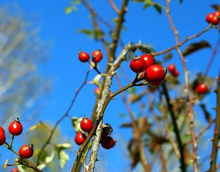 Fruit, The Fruit Of The Rose, Wild Rose, Fruiting