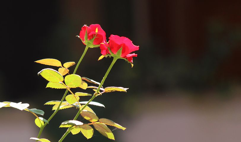 Flower, Rose, Petals, Floral, Nature, Green, Blossom