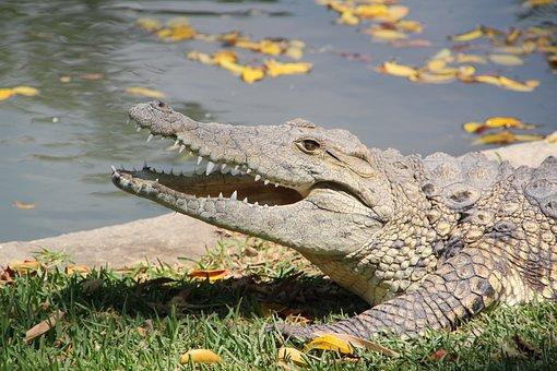 Animal, Crocodile, Zoo, Danger, Croc, Water, Green
