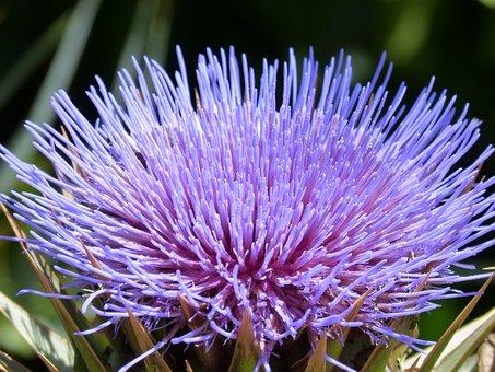 Artichoke Flower, Purple, Beauty, Artichoke
