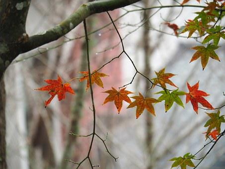 Maple Leaf, Taitung, Taimali, Autumn, Tree