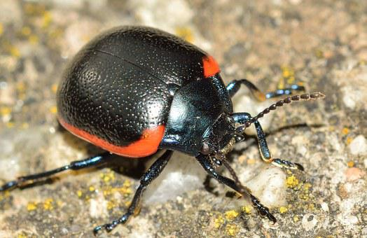 Insects, Beetles, Chrysolina Rossia