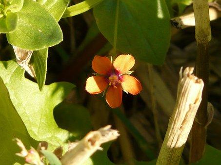 Acker Anagallis, Agricultural Plant, Blossom, Bloom