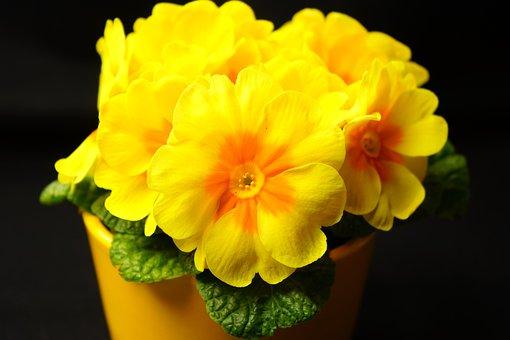 Primrose, Primula, Blossom, Bloom, Yellow