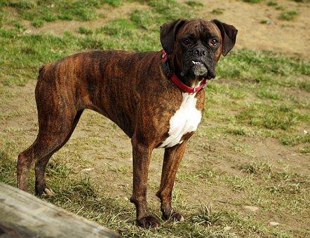 Dog, Boxer, Occlusion, Teeth, Animal, Dentist