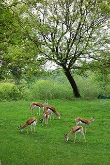 Antelopes, Pittsburgh, Zoo, Animals, Captive