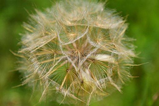 Had Salsify, Dandelion, Seeds, Close Up, Flying Seeds
