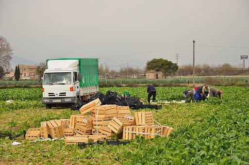 Agriculture, Collecting Artichokes, El Prat, Seasonal