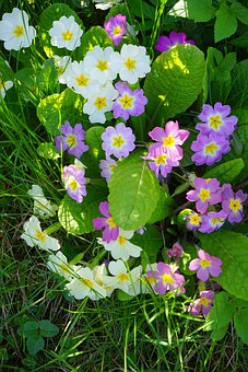 Primrose, Flower, Blossom, Bloom, White, Colorful