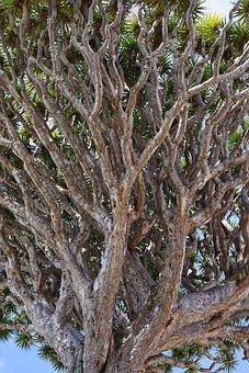 Canary Island Dragon Tree, Dragon Tree, Dracaena Draco